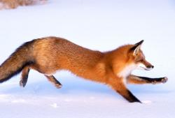 Running Red Fox I Alaska Travel Photos
