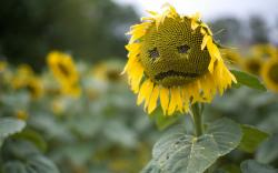Sad Sunflower Wallpapers Pictures Photos Images. «