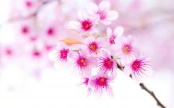 ... Sakura Flower Wallpaper; Sakura Flower Wallpaper