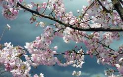 ... Sakura Flower Images · Sakura Flower Images