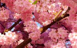 Cherry blossoms spring