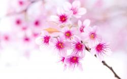 ... Sakura Flower Wallpaper; Sakura Flower Wallpaper