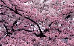 Sakura Flower Wallpaper With 1280×800 Resolution
