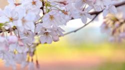 Sakura Flower Images 15337