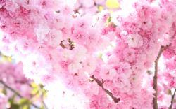 Sakura Flower Wallpaper ...
