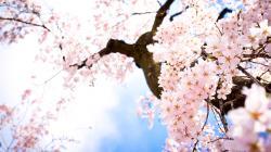 Sakura Flowers Wallpaper