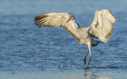 Sandhill Crane Bird Water