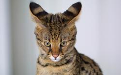 Savannah Cat Wallpaper
