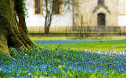 Scilla Flower in Park