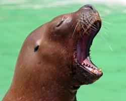 Desktop backgrounds · Animal Life · All Animals Sea Lion Yawn