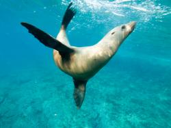 ... Synchronized swimming, sea lion style   by altsaint
