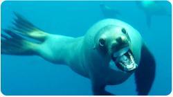 Sea Lion Attacks Diver | Crazy Near Miss
