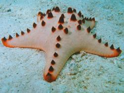 "Starfish, often called ""sea stars"", are phylum echinoderms and belong to Asteroidea class. Starfish are technically not fish because they do not have any ..."