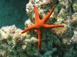 crown of thorns sea star