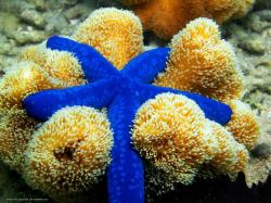 Scientists have known about sea star eyes for about 200 years, but aside from studying their structure, not much research has been done on them until ...