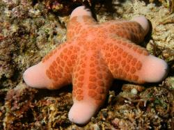 (Phuket, Thailand), granulated sea star (Bali, Indonesia)
