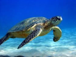 sea turtle HD Wallpapers Download Free sea turtle Tumblr - Pinterest Hd Wallpapers