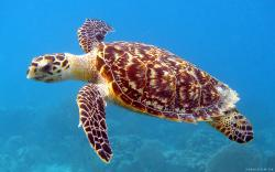 5.00/5. (1 vote). Download Underwater Sea Turtle wallpaper ...