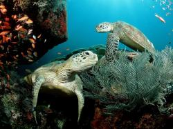 green sea turtle wallpaper (17)