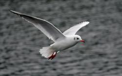 White Seagull Flying On Sea Looking for Fish Hd Wallpapers 1920x1200px