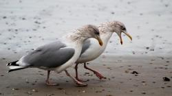 Seagull Wallpaper