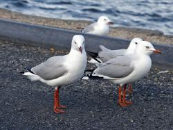 File:Red legged seagulls.jpg