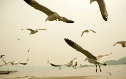 Seagulls HD Wallpaper 34112 High Resolution
