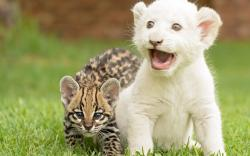 Serval Cat Kitten Cub Tiger wallpaper background