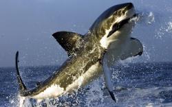 HD Wallpaper   Background ID:86820. 1680x1050 Animal Shark