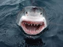 Great White Shark Wallpaper 39027