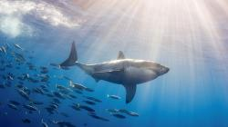 Shark Wallpaper Widescreen