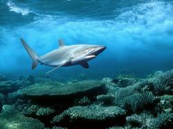 Shark Wallpaper; Shark Wallpaper ...