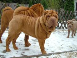 ... http://www.dogwallpapers.net/wallpapers/shar-pei-