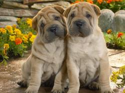 Shar Pei puppies pictures