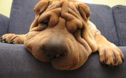 Well, basically any dog is, but the Shar Pei is definitely at the top of the list. Just look at this little guy!