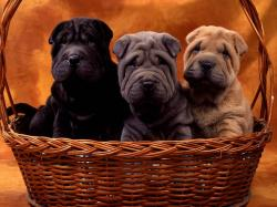Chinese Shar-Pei Puppies