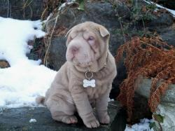 Shar Pei Picture Gallery
