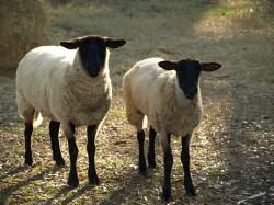 Suffolks are a medium wool, black-faced breed of meat sheep that make up 60% of the sheep population in the U.S. [1]