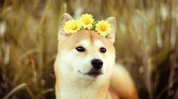 Beautiful Shiba Inu Wallpaper HD