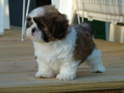 Shih Tzu Puppy Cut