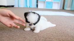 Cute Teacup Puppy Shih Tzu