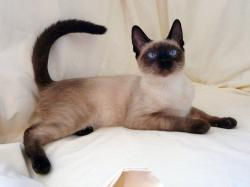 Siamese Cats- Photo#06