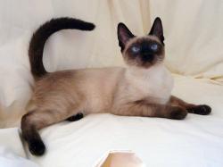 Siamese Cats- Photo#06