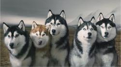 Siberian Husky Dogs HD Wallpaper