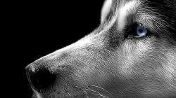 Siberian Husky Wallpaper Free Download