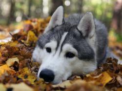 Cute Siberian Husky Puppies 24 Cool Wallpaper HD