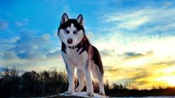 Download the Best HD Husky Wallpapers for iOS and Android