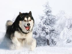 Huskies dogs hd wallpapers cool desktop photos widescreen