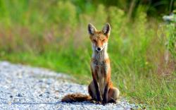 Sitting fox Wallpapers Pictures Photos Images. «