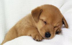 sleeping dog image wallpaper Wallpaper